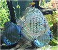 Ornamental Fish -