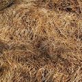 RICE CROP SILAGE/ STRAW SILAGE/ FATTENING COW -