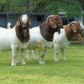 Cabras Boer vivem ovelhas e cordeiros bovinos -