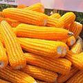 干甜玉米,最优惠价格甜玉米