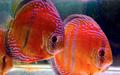 Exportação de Peixes Ornanematis  -