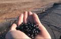 Black Bean