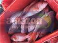 Fish Caribbean Red Snapper (Lutjanus purpureus)