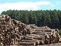 Madera de pino para la exportación