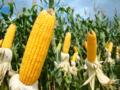 黄色玉米、转基因