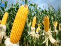 YELLOW CORN – GMO, WHITE CORN – GMO -