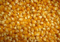 Yellow Corn for Animal Feed from Russia