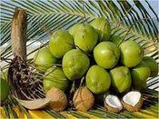 绿椰子和干椰子