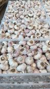 Garlic imported