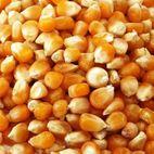 干玉米/干黄玉米/干甜玉米最优惠价格