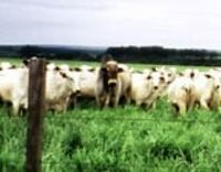 Live Cattle -