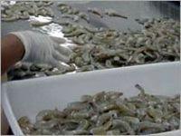 Farm-Raised Sea Shrimps -