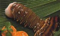 Cauda de lagosta -