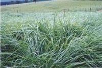 Massai Grass -
