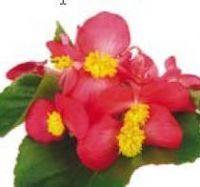 Flower - Begonia Bidens - Red - Sunbegosu -