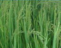 Rice -