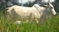 Cattle Breeding -