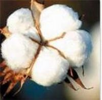 Cotton -