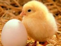 Hatching Eggs -