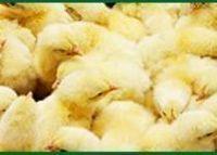 Pollos de Engorde -