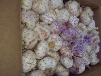 Chinese garlic 5-5 and 6-5 -