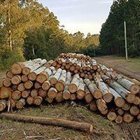 Eucalyptus logs -