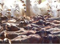 在体外受精 (IVF) 牛、 羊、 水牛 -