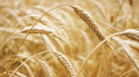 WHEAT // SOYBEANS -