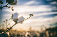 Cotton, Raw Cotton, Cotton Seed, Cotton Pie -