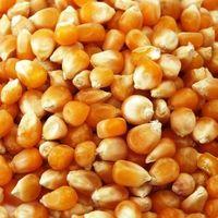 干甜玉米黄色和白色玉米/玉米 -