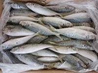 Frozen Mackerel Fish For sell  -