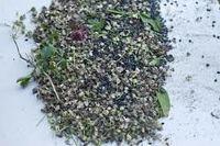 garlic seed good  price  -