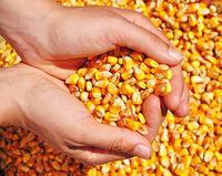 黄玉米 -