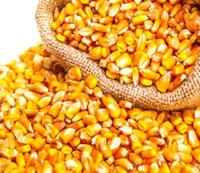 玉米/玉米 -