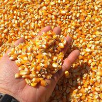 玉米大豆 -