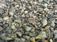 Palm Kernel Shell -