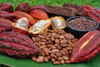 Cacao Beans - Theobroma Cacao -