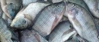 Frozen Tilapia Fish  for Sell  -