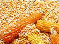 黄玉米 / 玉米 + 白玉米 -